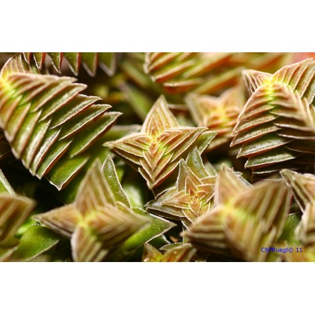 Crassula capitella ssp. thrysiflora -grubosz
