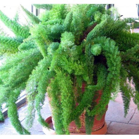 Asparagus densiflorus 'Meyers' Asparagus gęstokwiatowy