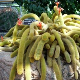 Cleistocactus aureospinus -MAŁPIE OGONY