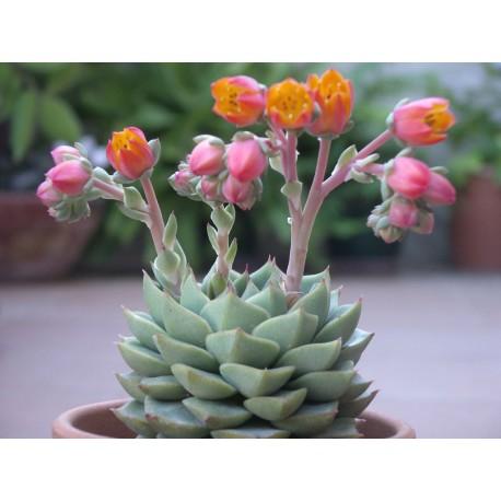 Echeveria fabiola