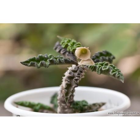 Euphorbia decaryi Wilczomlecz