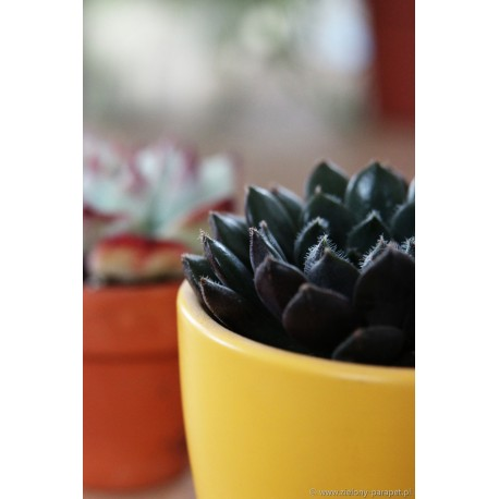 Echeveria 'Black Violet'
