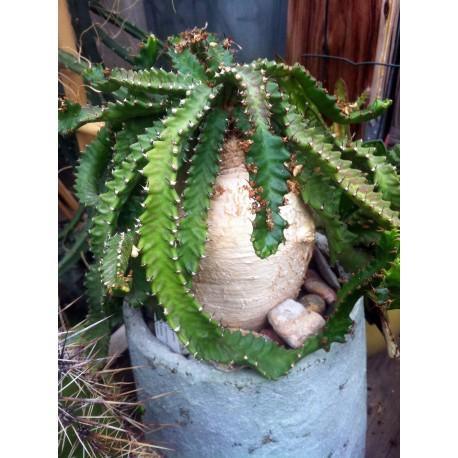 Euphorbia stellata Wilczomlecz