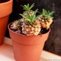 Euphorbia suzannae x bupleurifolia Wilczomlecz