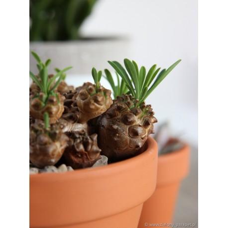 Euphorbia suzannae x bupleurifolia