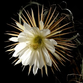 Selenicereus grandiflorus Królowa Jednej Nocy