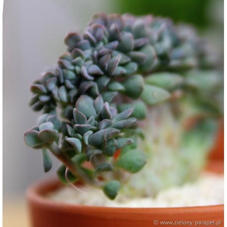 Echeveria 'Cubic Frost Cristata' Eszeweria