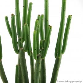 Euphorbia cedrorum Wilczomlecz