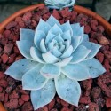 Echeveria 'Bluebird' Eszeweria