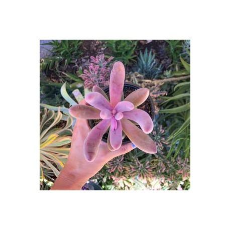 Pachyphytum 'Ganzhou'