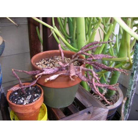 Euphorbia platyclada Wilczomlecz