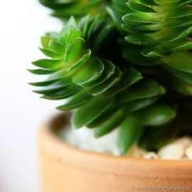 Crassula 'Estagnol' Grubosz