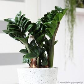 Zamioculcas zamiifolia 'Zenzi' Zamiokulkas zamiolistny
