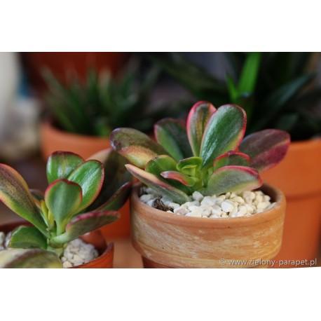 Crassula ovata obliqua 'Tricolor' Grubosz