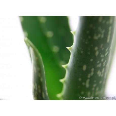 Aloe vera Aloes leczniczy
