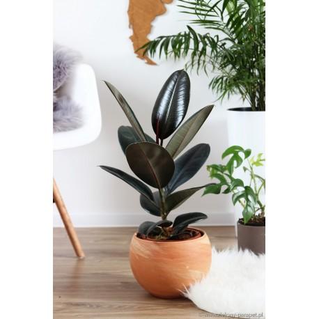 Ficus elastica 'Abidjan' Figowiec sprężysty
