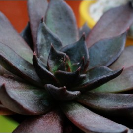 Echeveria 'Black Prince' Eszeweria