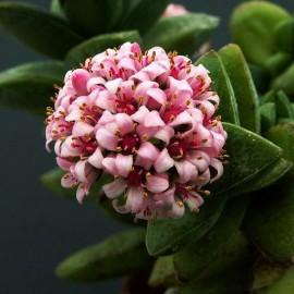 Crassula 'Springtime' Grubosz