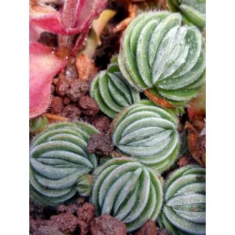 Crassula tomentosa Grubosz owłosiony