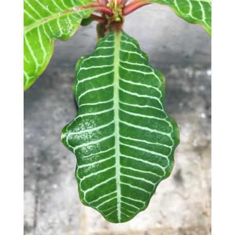 Euphorbia leuconeura Wilczomlecz białounerwiony