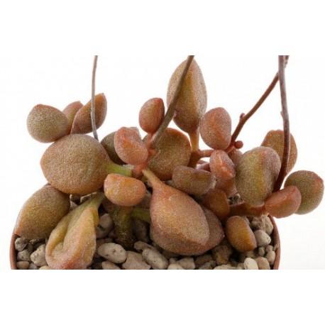 Adromischus marianae 'Little spheroide'