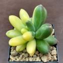 Pachyphytum compactum variegata