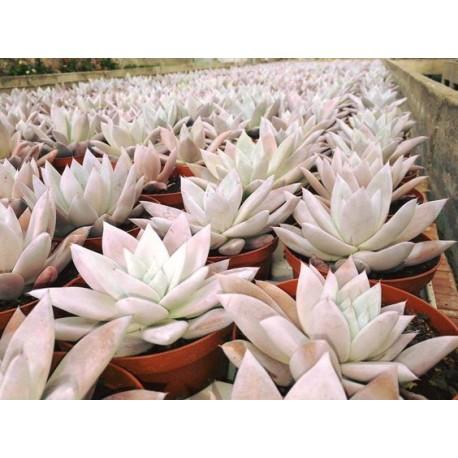 Echeveria colorata 'Mexican Giant' Eszeweria meksykański olbrzym