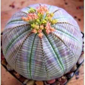 Euphorbia obesa Wilczomlecz opasły
