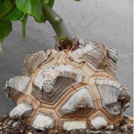 Dioscorea elephantipes Roślina ŻÓŁW
