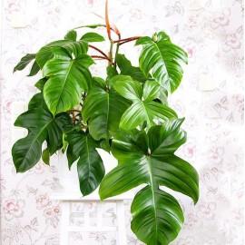 Philodendron squamiferum Filodendron