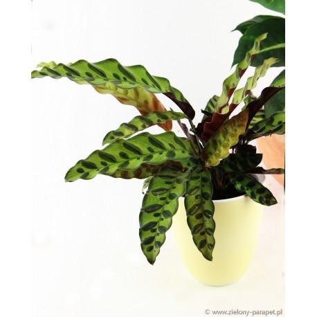 Calathea lancifolia Kalatea lancetolistna
