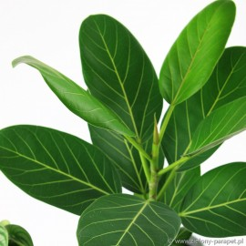 Ficus benghalensis 'Audrey' Figowiec bengalski