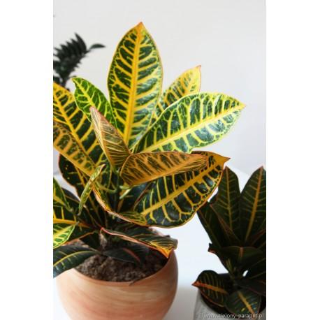 Codiaeum variegatum 'Petra' Kroton