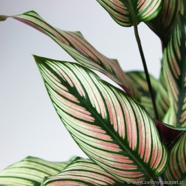 Calathea majestica 'White Star'