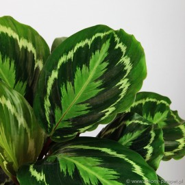 Calathea 'Medallion' Kalatea