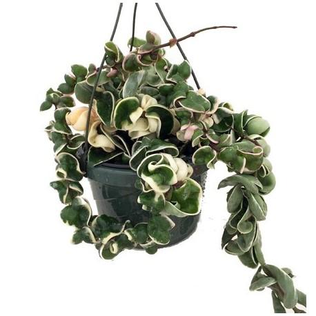 Hoya carnosa 'Compacta Variegata'