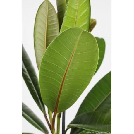 Ficus americana subsp. guianensis Figowiec