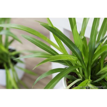 Chlorophytum comosum 'Lemon' Zielistka