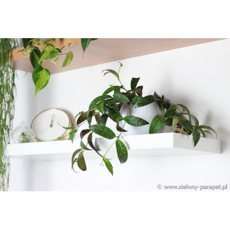 Aeschynanthus marmoratus Eszynanthus marmurkowy