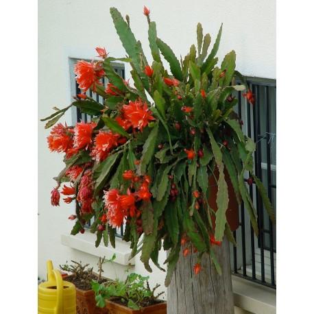 Epiphyllum ackermanii 'Red Tip'