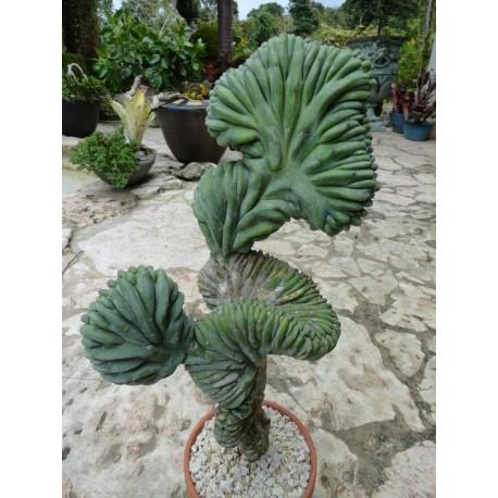 Myrtillocactus geometrizans f. cristata