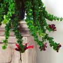 Aeschynanthus japhrolepis 'Twister'
