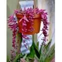 Otthona capensis 'Ruby Necklace' (Senecio 'Purple Flash')