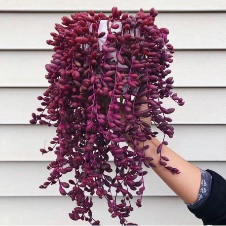 Senecio herreianus 'Purple Flash'