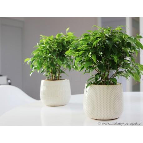 Ficus benjamina 'Green Kinky'