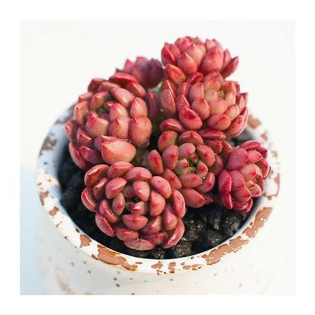 Echeveria 'Pink Ruby'