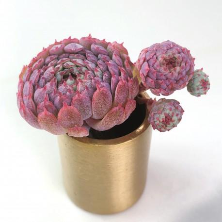 Echeveria globulosa