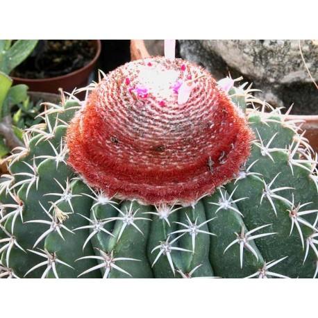 Melocactus amoenus