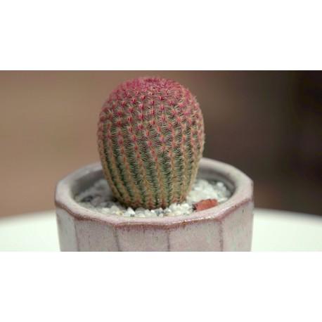 Echinocereus pectinatus var. rubispinus