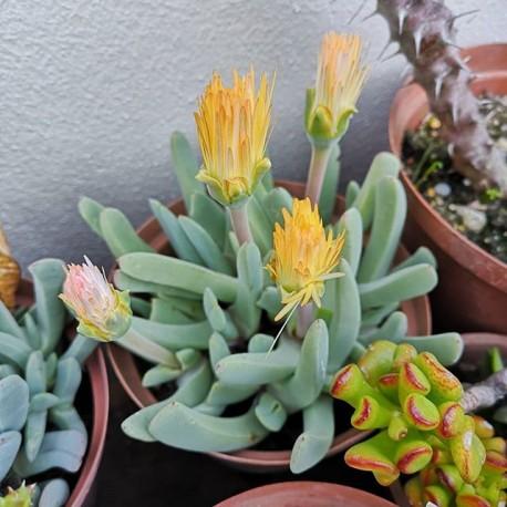 Cheiridopsis candidissima